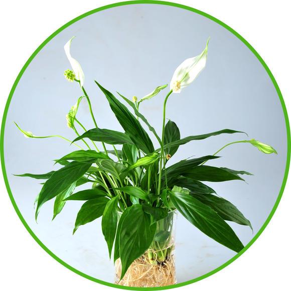 常绿草本植物 原 产 地:中南美洲的热带雨林 形态特征:无茎或茎极短