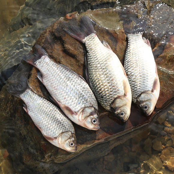 千岛湖有机鱼 野生鲫鱼 鲜活野鲫鱼 产妇下奶催奶鲫鱼