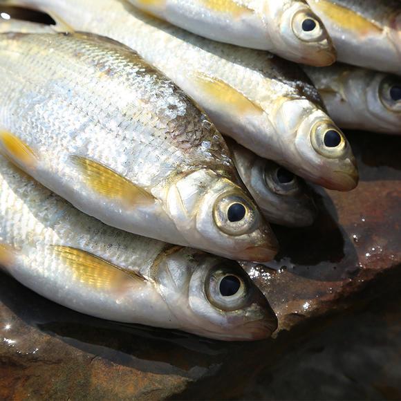 千岛湖有机鱼 大眼鳊鱼 大眼睛 鲜活水产 纯正野生弯弯片 新鲜