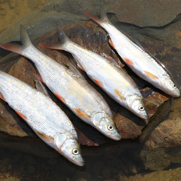 千岛湖有机鱼 野生红珠鱼 红尾鱼 有机鱼鲜活水产 纯正野生红珠鱼