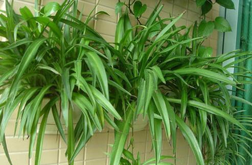 宽叶吊兰:叶片宽线形全缘或微微具有波皱
