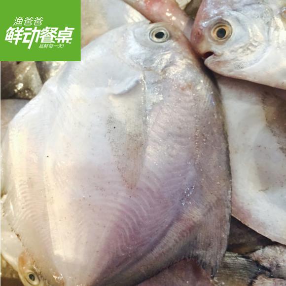 新鲜海鱼湛江徐闻野生天然白鲳鱼