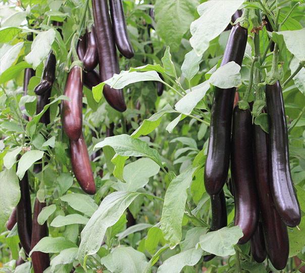 在茄子的生长过程中,茄子菌核病给其生长带来很大的
