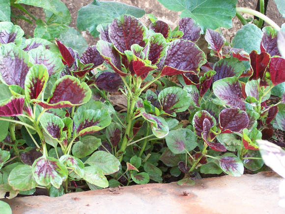 花红苋菜属彩苋品种类型,是富含钙,铁矿物质的保健蔬菜,植株生长快