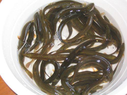 商品台湾泥鳅,台湾种鳅,水花寸苗,小龙虾,龙虾种苗,螃蟹,鱼苗,孵化