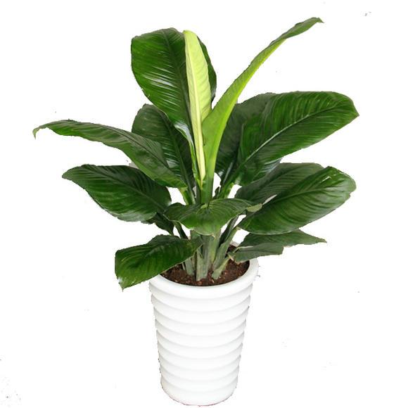 绿巨人花怎么养_绿巨人植物图片大全 _排行榜大全