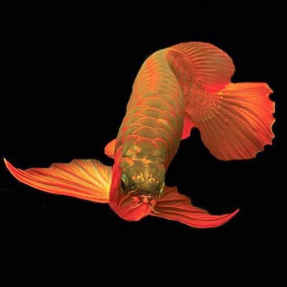 辣椒红龙鱼_顶级红龙鱼印尼超血红龙号半辣椒红龙观赏鱼热带鱼金龙鱼活体幼苗