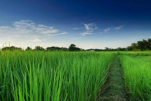 适宜老挝生长的非转基因水稻品种茉莉香105亲本种籽,经专家提纯复壮图片