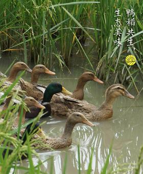 自留地有机稻田鸭,鸭稻共生,无激素无添加图片