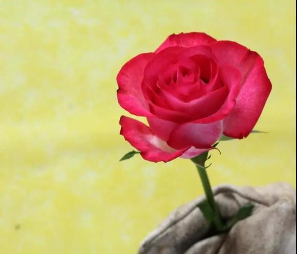 魅惑玫瑰图片_魅惑玫瑰