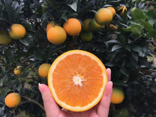 九月红秋橙 果重9斤【三峡特产】秭归秋橙九月红!橙香满溢!汁多甘甜!口感鲜嫩!绿色有机 商品图1