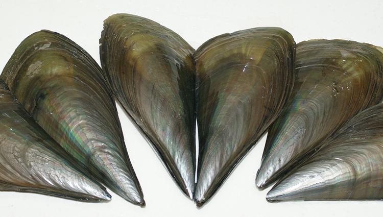欧三哥香辣带子鲜活定制海鲜熟食贝类四川特色小吃私房菜真空包装