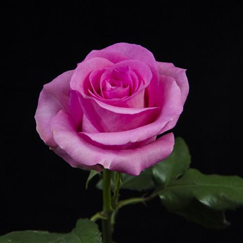 深宫风云之玫瑰_玫瑰 苏醒 深粉色