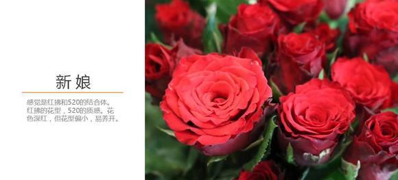 深宫风云之玫瑰_新娘 玫瑰 深红色