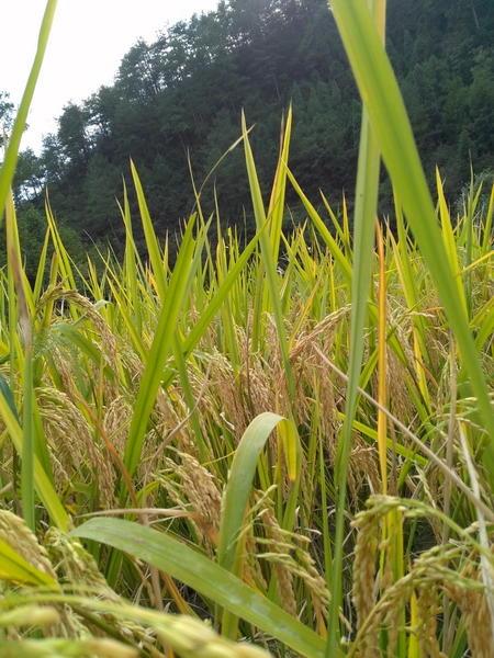 富硒七不红米 红皮大米 2020年11月东北海伦伦河镇黑土寒地七不种植基地自产 明安心法农业 自有品种 商品图12