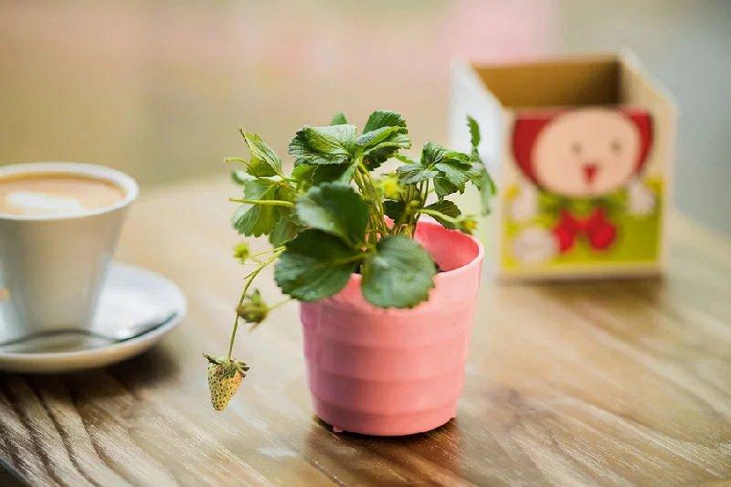 到了第三年,植株就要枯死,所以如果护理得当,草莓盒子可以至少生长1到