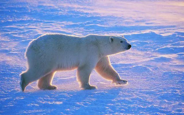 北极v极昼|灭绝北极熊探访极昼10天大象感受图片图片