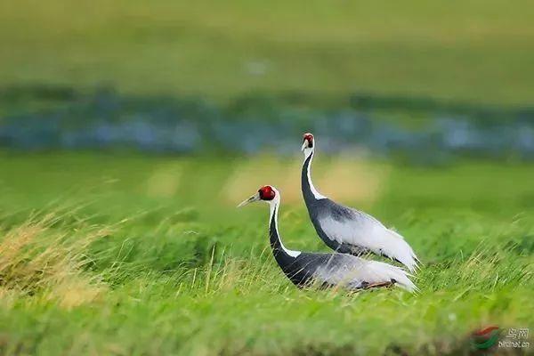 走进鹤园,这里有黄嘴鹮鹳,灰鹤,白枕鹤,白琵鹭等珍稀物种,它们外观有