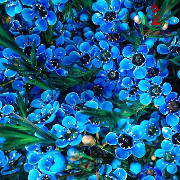 澳大利亚进口鲜切腊梅花 蓝色海洋 chamelaucium blue