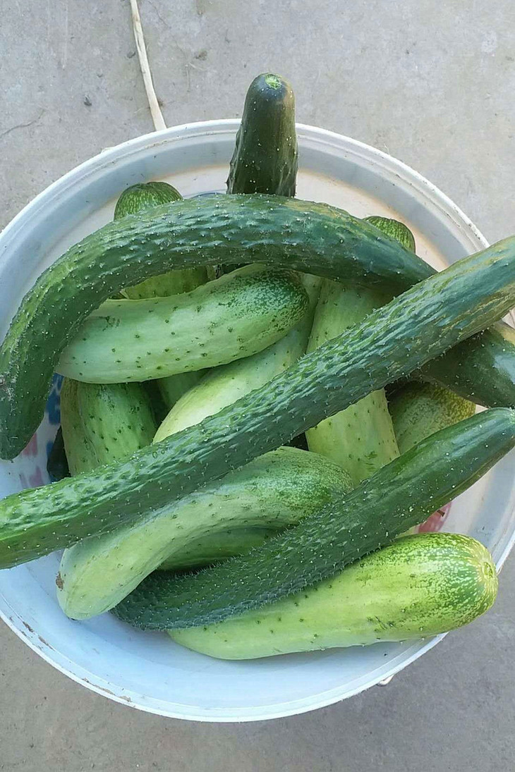 细长的是普通黄瓜,矮短的是水果黄瓜