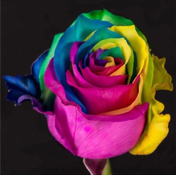 深宫风云之玫瑰_厄瓜多尔深彩虹玫瑰