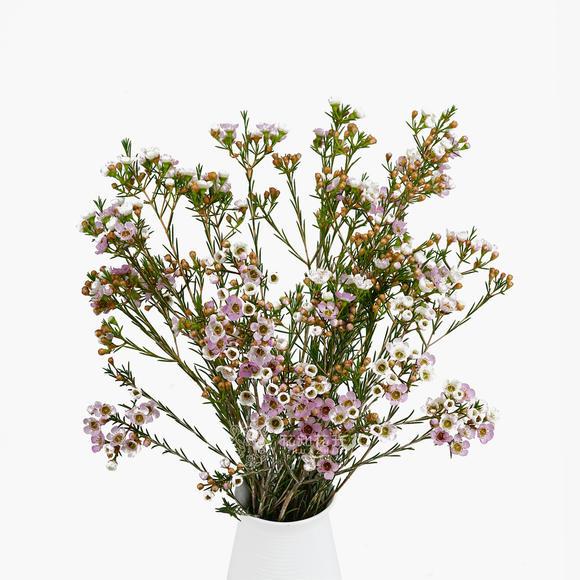 进口大花粉色澳洲腊梅 |林奇农场