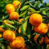 精选 | 庐山西海蜜桔  片片饱满 酸甜可口 5/10斤装  顺丰直发 商品缩略图4