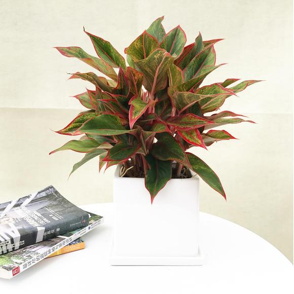 花伴水万年红室内吸甲醛净化空气彩叶植物图片