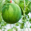 沙漠小吊西瓜  果肉鲜红  瓜瓤饱满  口感多汁~ 商品缩略图2