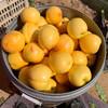 蒙阴应季头茬黄金油桃 甜蜜多汁 香酥味美 3斤装/5斤装 商品缩略图4