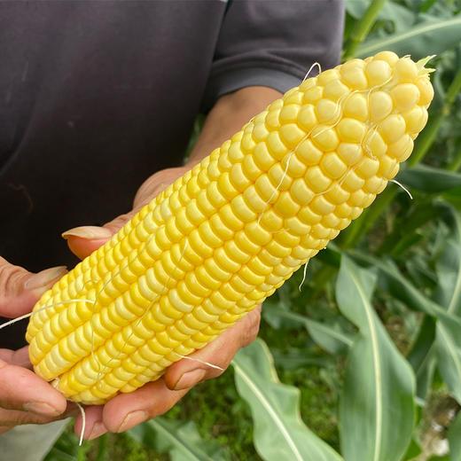 【助农战役】广西水果玉米 鲜嫩多汁 可以生吃的水果玉米  清甜可口 农家种植 商品图5