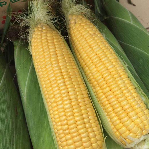 【助农战役】广西水果玉米 鲜嫩多汁 可以生吃的水果玉米  清甜可口 农家种植 商品图0