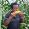 【助农战役】广西水果玉米 鲜嫩多汁 可以生吃的水果玉米  清甜可口 农家种植 商品缩略图2
