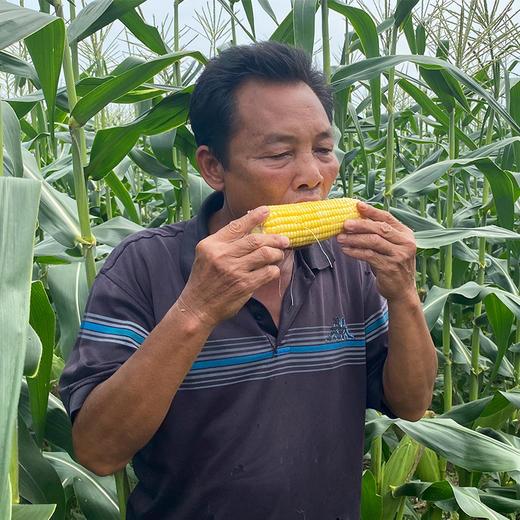 【助农战役】广西水果玉米 鲜嫩多汁 可以生吃的水果玉米  清甜可口 农家种植 商品图2