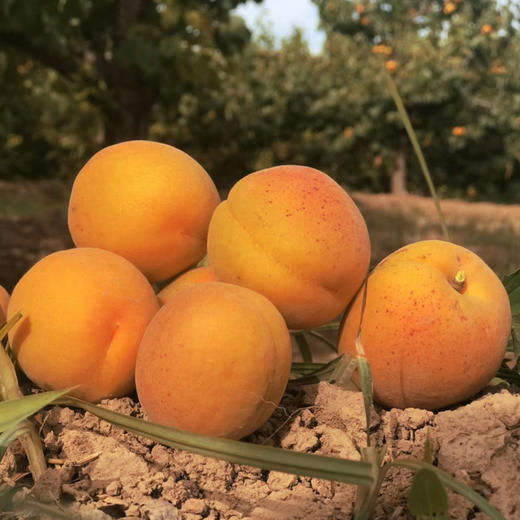 【农道好物精选推荐】凯特大黄杏 个大饱满 颗颗鲜美 5斤超值包邮 商品图1