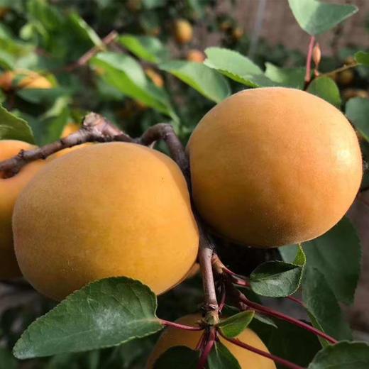 【农道好物精选推荐】凯特大黄杏 个大饱满 颗颗鲜美 5斤超值包邮 商品图3