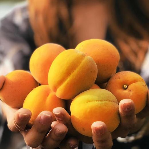 【农道好物精选推荐】凯特大黄杏 个大饱满 颗颗鲜美 5斤超值包邮 商品图2