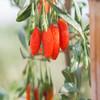 农道好物优品丨鲜果枸杞 原产地皮薄多汁 传统人工种植 新鲜水果 2020鲜枸杞水果 商品缩略图4