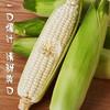 [牛奶玉米]一口爆汁 清甜爽口 3.8斤装(约6-8根) 商品缩略图1