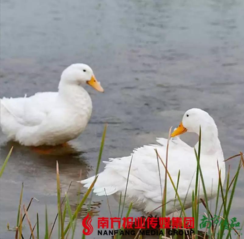 【珠三角包邮】清远白鸭 4-4.5斤/ 只  (次日到货) 商品图1