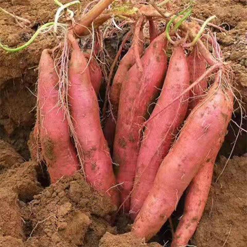 板栗薯 栗香浓郁 入口绵柔 软糯香甜 红薯5斤装 栗番薯番薯现挖新鲜红薯地瓜蔬菜 商品图5