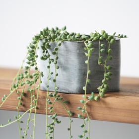 多肉植物组合盆栽 情人泪套餐含盆含土室内桌面绿植创意礼品