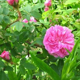摩洛哥千叶玫瑰原精-  进口 土耳其产