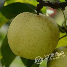 【正宗】德化梨 套袋精品梨 早熟梨特级 消暑降温 甜脆多汁 肉细味美
