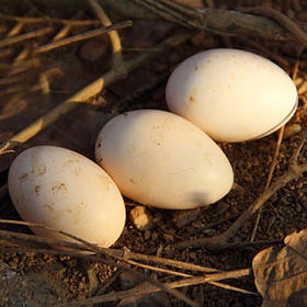 【南海网微商城】正宗野鸡蛋 口感乳软 细嫩 蛋黄细腻不噎食 30枚装