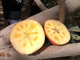 正宗阿克苏苹果  97元/箱   江门五邑城区包邮  最好吃的苹果  果香浓郁  甘甜味厚  汁多无渣