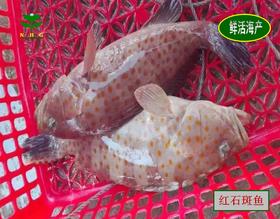 【南海网微商城】红树林石斑鱼