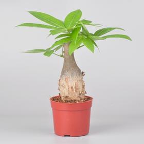 定一花木| 发财树 盆栽 微景观植物 花卉绿植