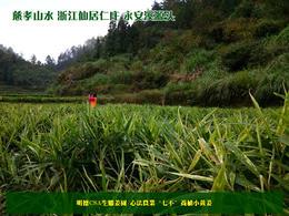 '七不'小黄姜老姜母 2020年秋收 买就送   明德CSA生态姜园 自种生态姜 心法农业恭献