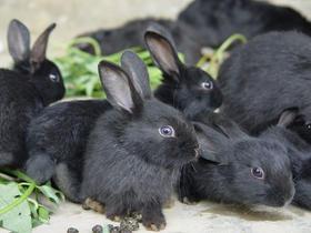 【德化特产】德化黑兔  1只净重约3斤